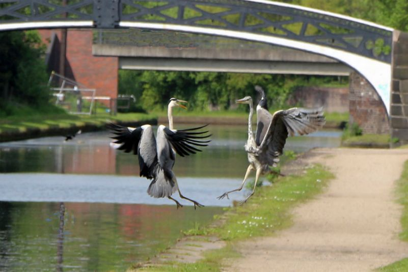Herons on the Main Line