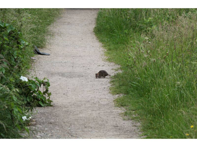 Scary rat or lovable vole?
